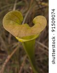Yellow Pitcher Plant - stock photo