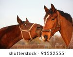 two bay horses playing with... | Shutterstock . vector #91532555