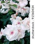 shrub of rosa jacqueline du pre | Shutterstock . vector #91560434