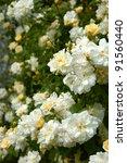 shrub with white  yellow... | Shutterstock . vector #91560440