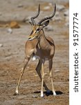 Small photo of Black-faced impala; Aepyceros melampus petersi