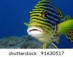 Oriental sweetlip in the tropical waters of the indian ocean - stock photo