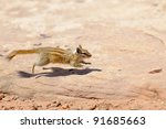 Hopi Chipmunk In Canyonlands...