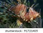 Common lionfish in the tropical waters of the indian ocean - stock photo