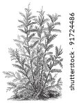 glycyrrhiza glabra  medicinal... | Shutterstock .eps vector #91724486