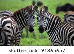 zebra  serengeti national park  ... | Shutterstock . vector #91865657