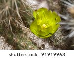Close-up of cactus in bloom in Anza Borrego Desert State Park. California, USA - stock photo