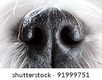 shih tzu dog nose close up. | Shutterstock . vector #91999751