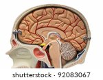 Brain section - stock photo