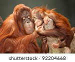 Stock photo mother and baby orangutans 92204668