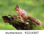 Red Squirrel Sitting On A Moss...
