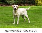 yellow labrador retriever on...   Shutterstock . vector #92251291