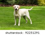 Yellow Labrador Retriever On...
