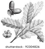 Sessile Oak  Quercus...