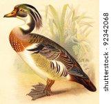 Wood Duck  Aix Sponsa   ...