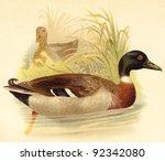 Mallard Duck  Anas Boschas   ...