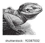 Stellion Or Star Lizard ...