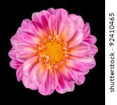 Dahlia Flower with Pink White Petals and Yellow Center Isolated on Black Background - stock photo