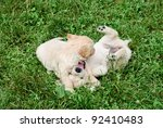 Stock photo golden retriever s puppies are playing in the grass 92410483