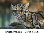 Young Clouded Leopard  ...