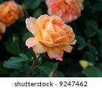 Beautiful Peach Rose