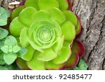 Aeonium Arboreum Outside In A...