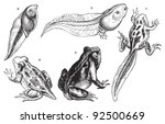 Frog Growing Fase   Vintage...
