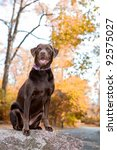 Chocolate labrador retriever dog sitting on a rock , isolated by the fall leaves. - stock photo