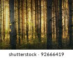 Forest with pine trees in bright yellow autumn sunshine - stock photo