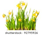 lent lily  daffodil  isolated...   Shutterstock . vector #92795926