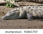 An American Crocodile Suns...