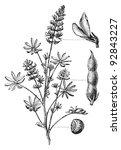 european yellow lupine  lupinus ... | Shutterstock .eps vector #92843227
