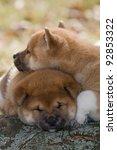 two nice puppy   shiba inu | Shutterstock . vector #92853322