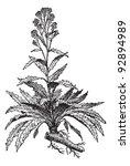 old engraved illustration of... | Shutterstock .eps vector #92894989