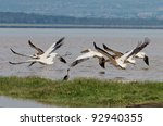 Soaring White Pelicans In Lake...