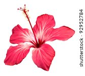 hibiscus flower vector.... | Shutterstock .eps vector #92952784