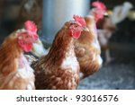 Brown Hens With Focus On Middl...