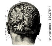humain brain  vintage engraved...