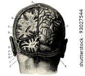 Humain Brain  Vintage Engraved...