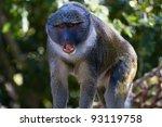 Allen's Swamp Monkey In...