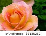 Beautiful pink yellowish rose in a garden. Shallow DOF - stock photo