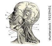 human anatomy   vintage...