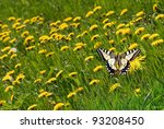 Swallowtail Butterfly  Papilio...