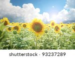 An amazing cultivated sunflower field - stock photo