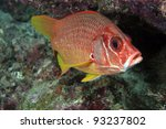 Sabre Squirrelfish in the coral reef - stock photo