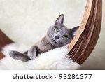 Beautiful Russian Blue Cat...
