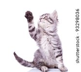Stock photo cute silver tabby cat reaching for something with its paw over white 93298036