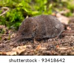 The Eurasian Pygmy Shrew is one of the smallest mammals in the world - stock photo