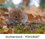 Bank vole (Clethrionomys glareolus) hiding between the leaves - stock photo