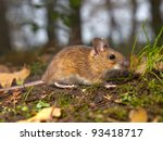 yellow necked mouse on the forest floor - stock photo